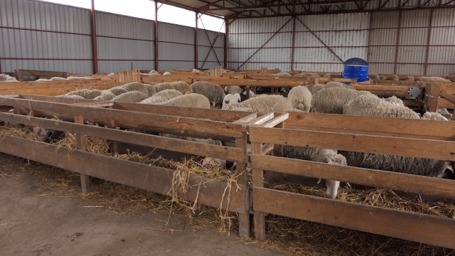 Od ovčarstva  može da se zaradi