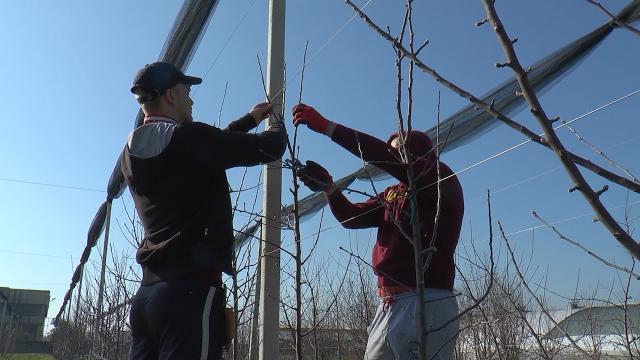 Učenici rumske srednje škole počeli zimsko orezivanje jabuke
