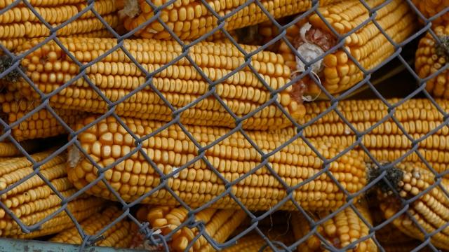 Soja i kukuruz nastavili sa rekordnim cenama