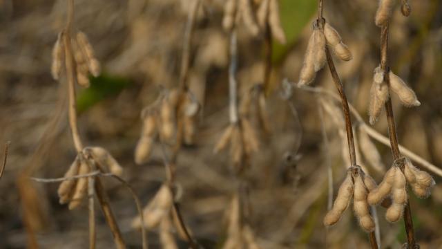 Preporuka ratarima da seju suncokret i soju više nego lane