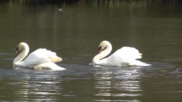 Labudovi uginuli u Velikom Bačkom kanalu