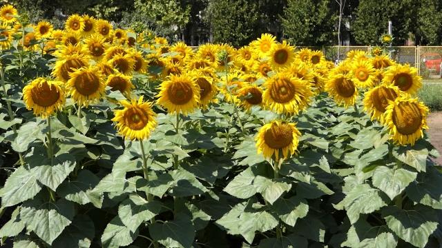 Suncokret čest u plodoredu, naročito u ravnicama