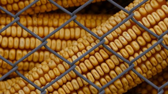 Kukuruz se više prodaje na inostranom tržištu