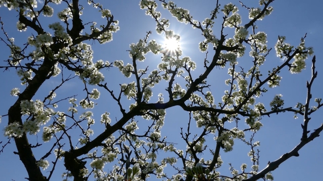 Tokom faze cvetanja, najugroženije su pčele
