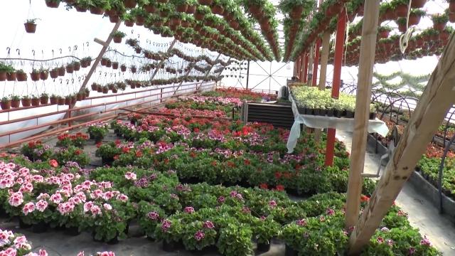 U prozvodnju cveća uključeni svi članovi porodice