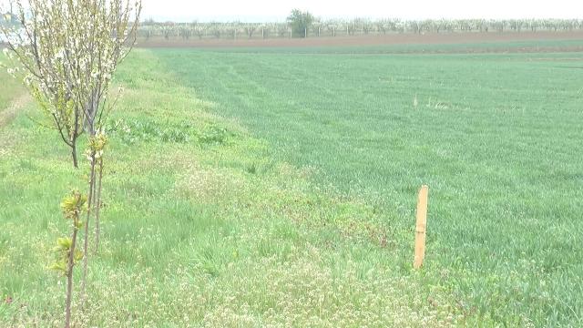 Nema pojave bolesti na usevu pšenice