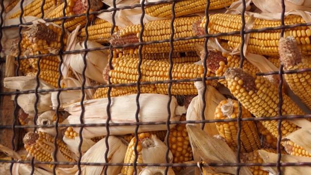 Količinski dominirao kukuruz