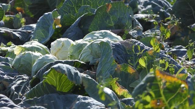 Od zdravog semena i rasada do oznake geografskog porekla
