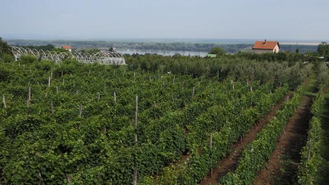 Prokupac se polako pozicionira na vinskim kartama širom Evrope i u Americi