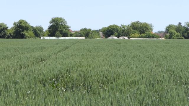 Žetva pšenice kasni, počeće oko 10. jula