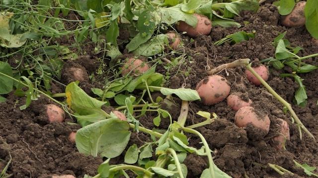 Prinosi mladog krompira od 25 do 30 tona po hektaru