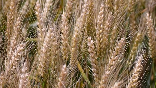 Pet tona pšenice po hektaru