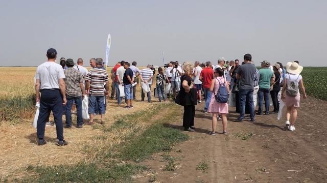 Visoke temperature ubrzale zrenje pšenice