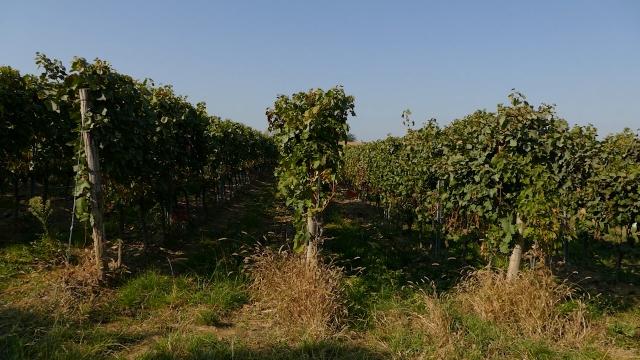 Stare vinske sorte grožđa i danas bez premca