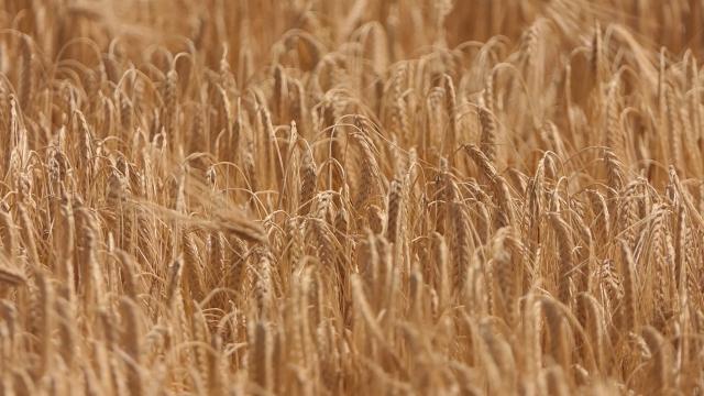 Nakon ječma, stiže i žetva pšenice