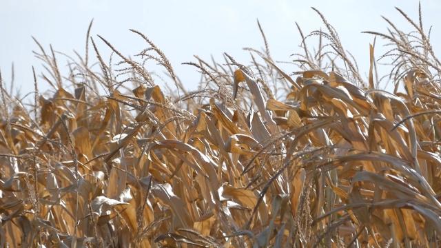 Suša pogadja sve hibride kukuruza