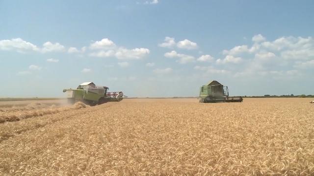 Cena pšenice od 22,34 din/kg pokriva  proizvodne troškove