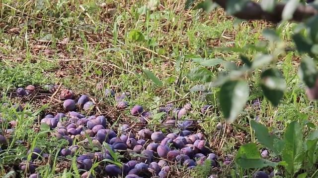 Stradalo voće, na Goliji klizište