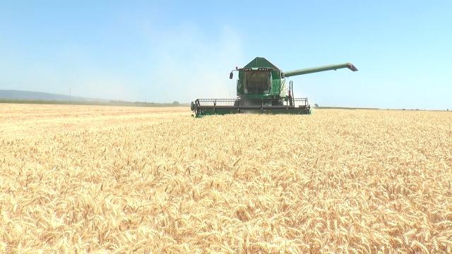 Završena žetva pšenice u Sremu