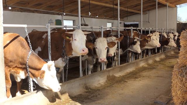 Veće premije za mleko