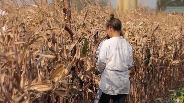 Takmičenje u ručnom branju kukuruza