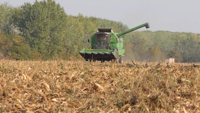 Kukuruza će biti dovoljno za domaće potrebe