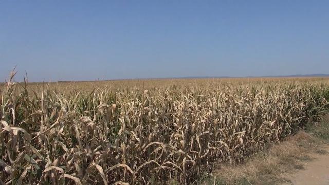 Suša umanjila rod, ali kukuruza će biti dovoljno