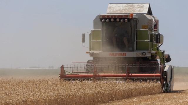 Pšenice više, kukuruza manje