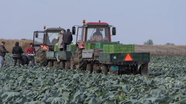 Suša uticala na rod povrća